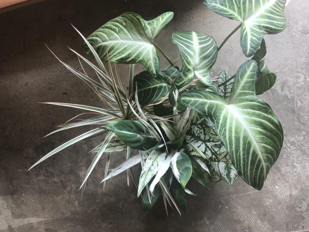 斑入り観葉植物 寄植え