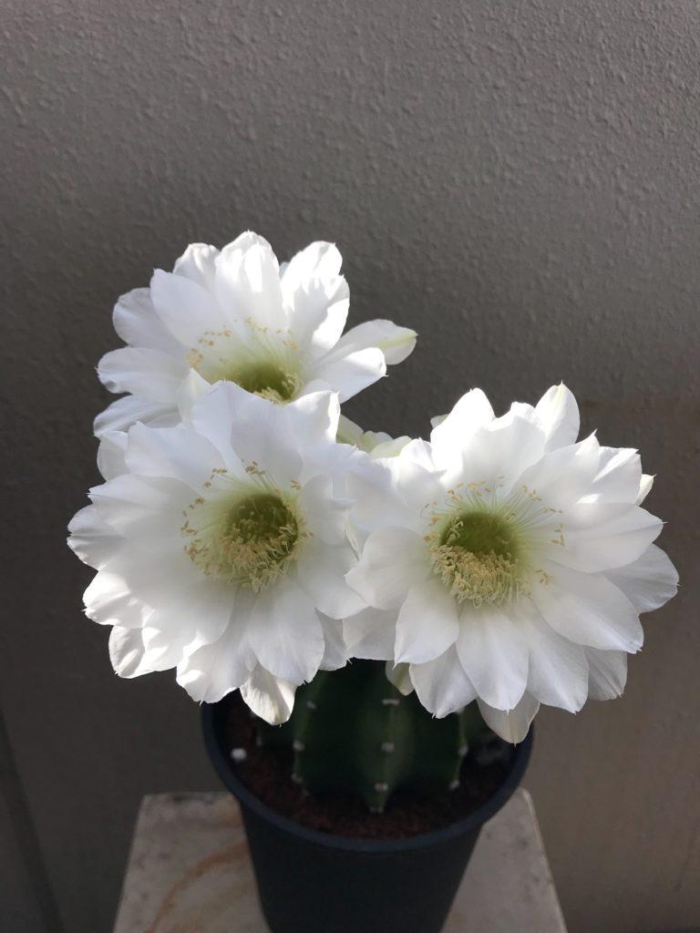 サボテン 短毛丸 花